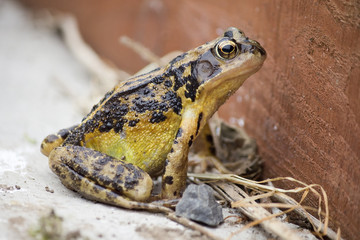 Common Frog on Paving