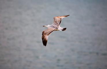 Cape Saint Vicent seagull
