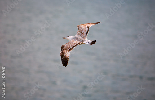 Cape Saint Vicent seagull