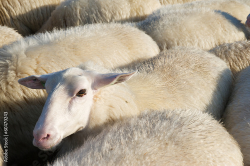 Sheep in Holland