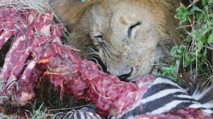 Male lion eats zebra