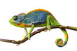 canvas print picture - chameleon