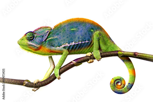 canvas print picture chameleon