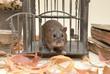 Ratto nella gabbia