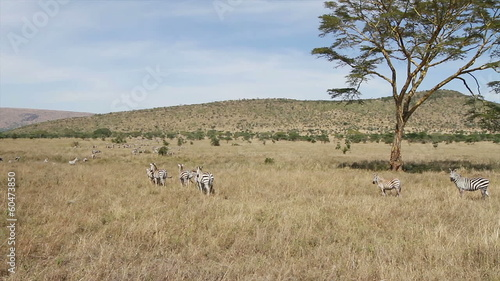 Zebras walking in Serengeti