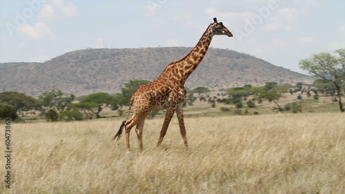 Giraffe eating in Serengati