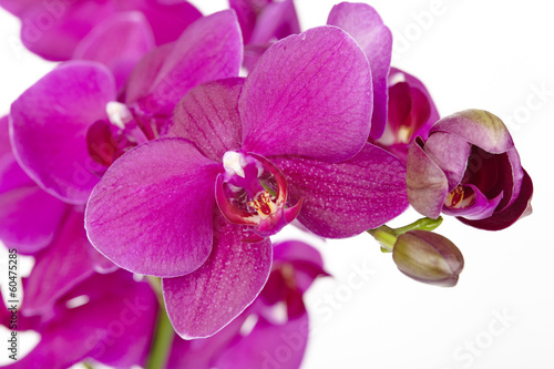 Lilafarbene Orchidee - Close Up