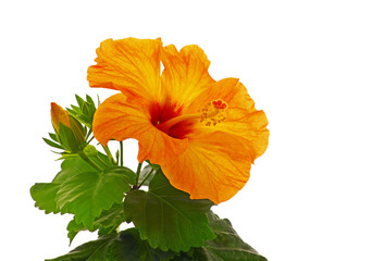 Rose mallow isolated
