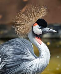 crowned crane