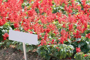 Flower Garden Red salvia.