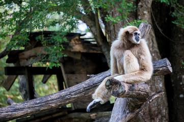 gibbon monkey sit on tree branch