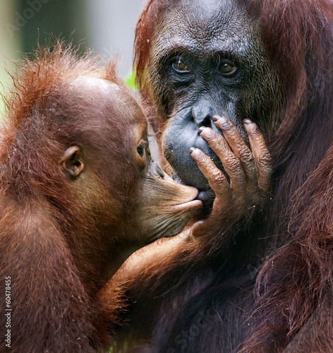 Foto op Canvas Aap The cub of the orangutan kisses mum.