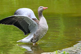 goose with outstretched wings
