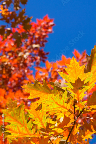 Colorful oak leaves