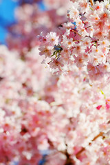Beautiful sakura place for adv or others purpose use