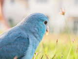 Pacific Parrotlet, Forpus coelestis on green grass (forpus is a