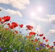 Klatschmohn und Kornblumen: Farben des Sommers