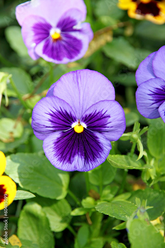Blue Pansy or viola flower.