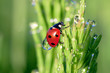 ladybug on a green grass