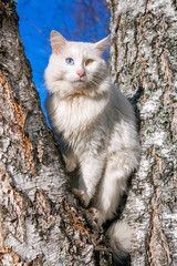 fluffy white cat with different eyes