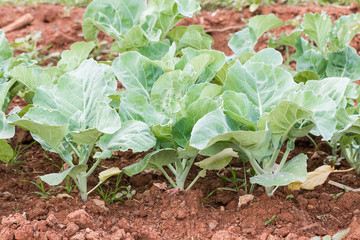 Chinese broccoli vegetable in garden
