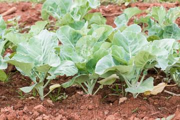 Chinese broccoli vegetable in garden