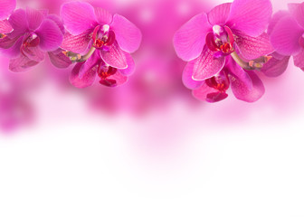 orchis, Orchidea Phalaenopsis background
