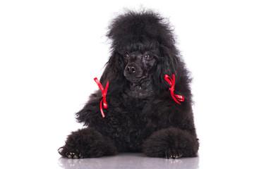 black poodle portrait