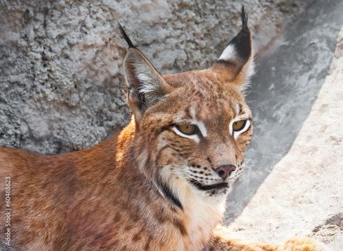 Staande foto Lynx Lynx