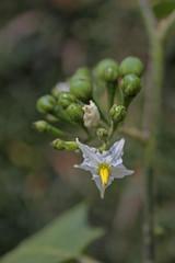 pea eggplant Solanum torvum Sw.