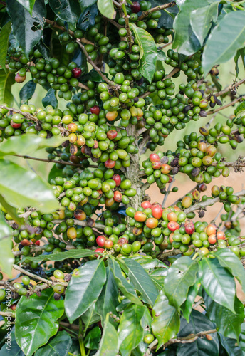 Arabica coffee tree with ripe berries on farm