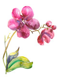 Orchid. Watercolor