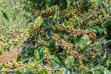 Arabica coffee tree with ripe berries on farm.