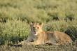 Lioness lying in grass.
