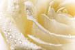 Obrazy na płótnie, fototapety, zdjęcia, fotoobrazy drukowane : Natural tint yellow roses background