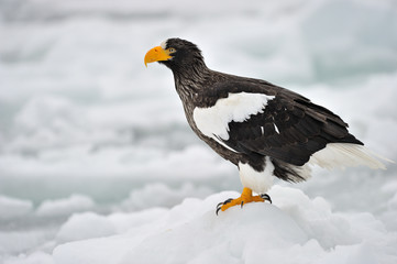 Steller's Sea Eagle standing on pack ice.