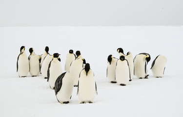 Group of unconcerned emperor penguins