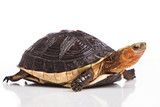 Chinese box turtle