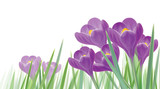 Vector spring crocuses flowers isolated.