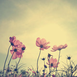 Fototapety Vintage Cosmos flowers in sunset time