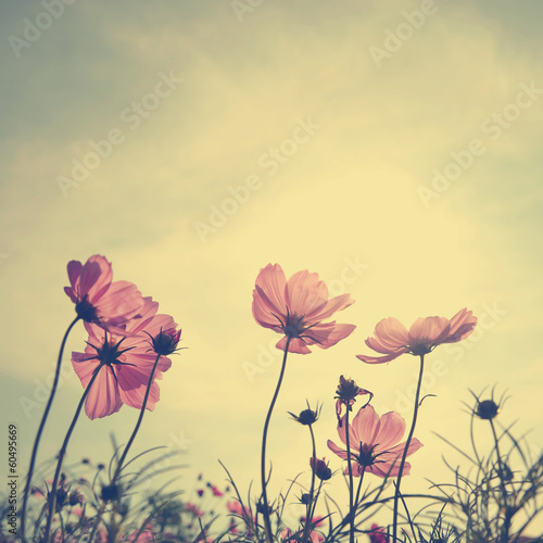 Foto op Canvas Madeliefjes Vintage Cosmos flowers in sunset time