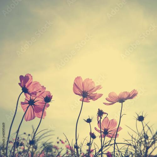 Leinwandbild Motiv Vintage Cosmos flowers in sunset time