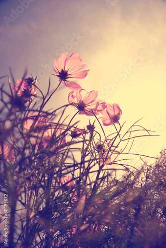 Fototapeta Vintage Cosmos flowers in sunset time