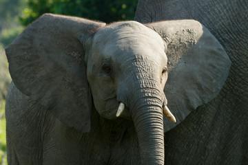 Elefantenbaby Portrait