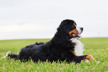 Bernese Mountain Dog lying on grass. Adult, purebred.