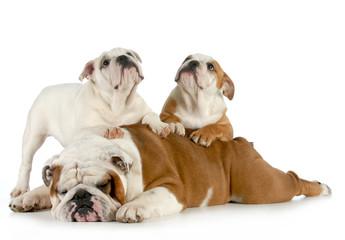english bulldog family