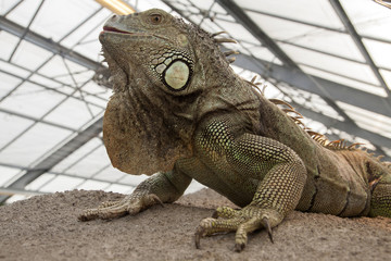 Large iguana reptile on a rock.