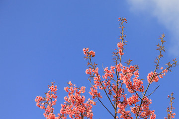Himalayan Cherry (Prunus cerasoides) blooming.