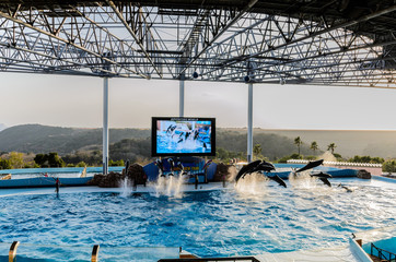 Dolphin show in the pool