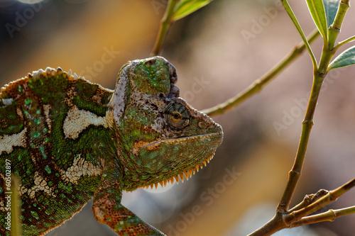Staande foto Kameleon Chamaeleo calyptratus
